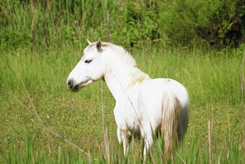 The marshy Camargue region of France is famous for its red rice and white horses.