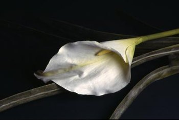 A white calla lily blossom is actually a modified leaf.