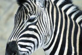 Every zebra has a unique stripe pattern.