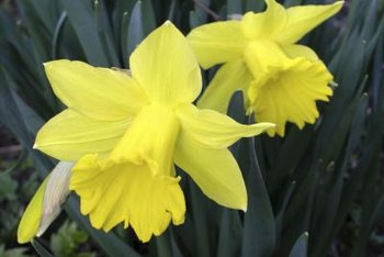 Daffodils require division every three years.