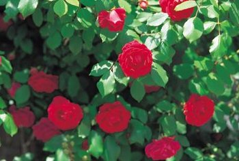 A wire rose trellis is nearly invisible behind a climbing rose.