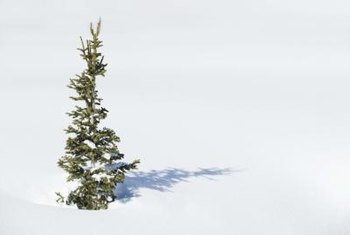 Pine trees, like all conifers, do not lose their leaves in winter.