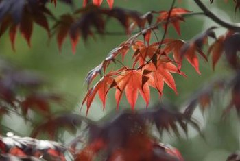 Vine maple foliage changes to gold and red hues during the fall.