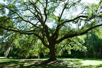 Oak trees branch out to create wide areas of shade.