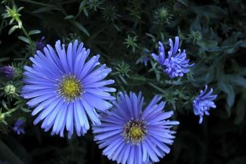 Flowering groundcovers such as asters add color to shaded locations