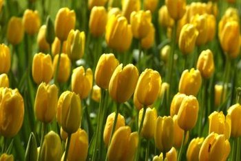 Tulips grow from bulbs that store food for the plants' growth.