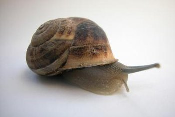 A snail's lifespan ranges from five to 25 years, depending on the species.