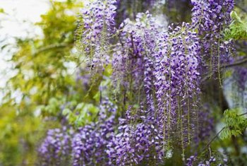 Wisteria showers its support with magnificent blooms.