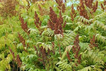 Sumac spreads rapidly by root suckers.