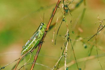 A few grasshoppers on your fruit tree are not a problem.