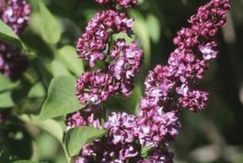 Lilacs flower from buds produced the previous year.