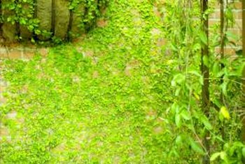 Vines help soften the hard lines of courtyard walls.