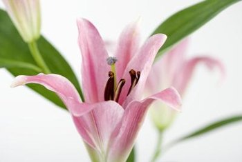 Oriental lilies are known for their beautiful flowers.