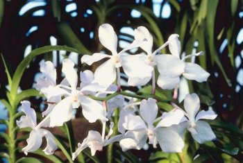 Vanda parviflora produces up to a dozen flowers on one spike.