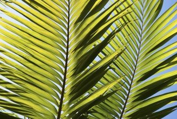 Healthy palm fronds are green throughout.