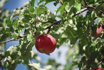 Pests and diseases can turn an apple's green, healthy leaves yellow and curled.