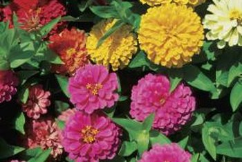 Zinnias bloom in clear, bright colors ranging from yellows to reds.