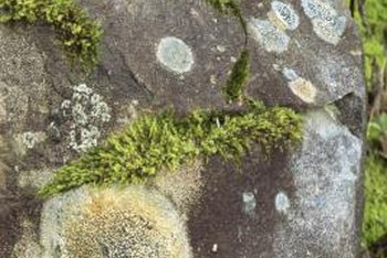 Lichens grow on various surfaces including trees, rocks and stumps.