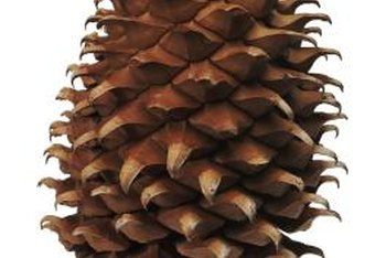 Natural pinecones require preparation for use as decorations.