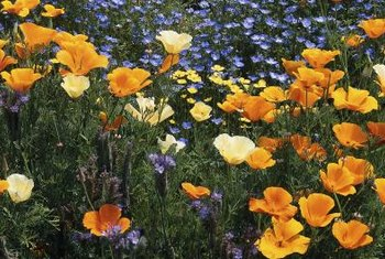 California poppies are native wildflowers blooming when the weather turns warm.