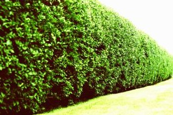 Hornbeams, with their dense leaf texture, make excellent hedges.