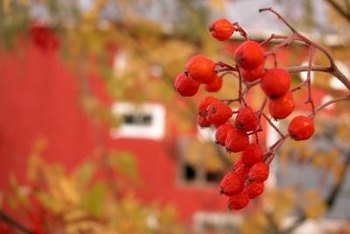 Colorful berry bushes invigorate late-season landscapes.