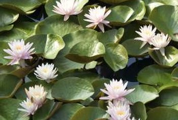Waterlilies are sometimes called lily pads or cow lilies.