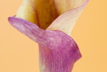 Calla lilies are available in shades of pink, red, yellow and white.