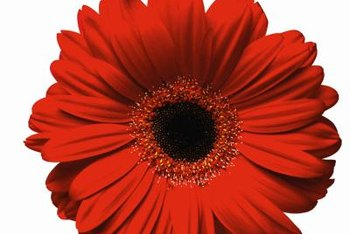 Flowers of gerbera daisy are 2 to 5 inches wide.