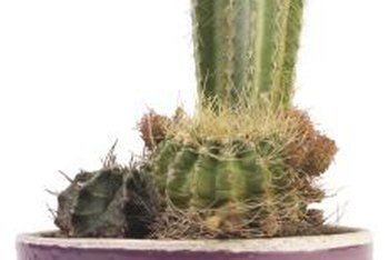 The colors and textures of a cactus plant spice up planter arrangements.