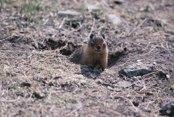 Ground squirrels form extensive burrows with multiple entrances.
