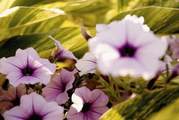 Petunias grow best in bright sunlight.