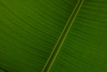 Japanese banana plants bring large tropical leaves to the garden.