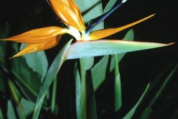 Hummingbirds and orioles visit bird-of-paradise flowers for the nectar.
