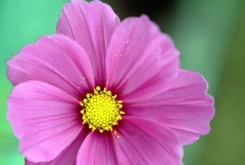 Pink cosmos are in the Aster family, like daisies.