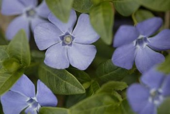 Forget-me-nots are often grown as a ground cover.