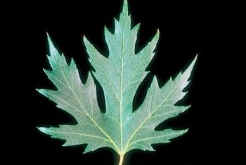Although attractive, silver maples are weedy trees.
