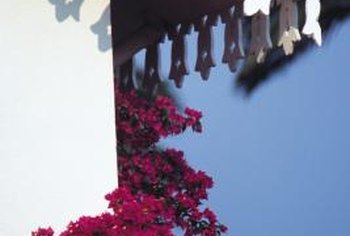 Bougainvillea vines grow rapidly on trellises and fences, reaching 15 to 40 feet tall.