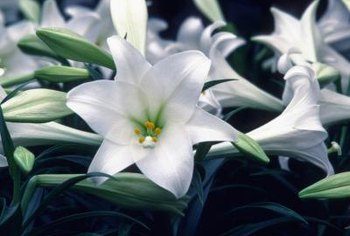 The fragrant Easter lily adds elegance to the summer garden.