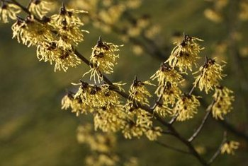 Masses of yellow, orange or red witch hazel blossoms open in winter and early spring.