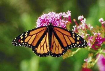 Butterfly bushes with cool-pink flowers may attract bees as well as butterflies.