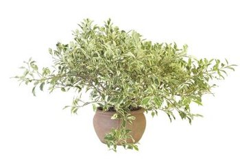 Sweet olive grows in full sun or partial shade.