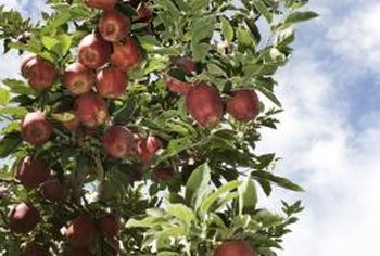 A standard sized apple tree yields four to five bushels of apples per year.