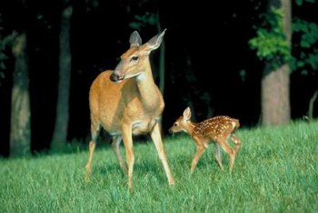 Inspect deer fences regularly to make sure they have no weak areas.