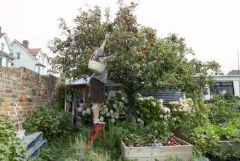 Semi-dwarf apple trees make the harvest accessible to the home gardener.