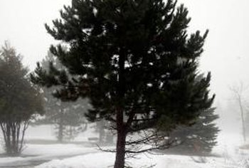Pruned pine trees have shorter spaces between branch whorls, resulting in a fuller tree.