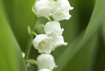 Lily of the valley thrives when planted below evergreen trees.