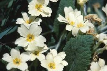 Primroses flower in a wide array of vibrant hues, including purple, red, white and yellow.