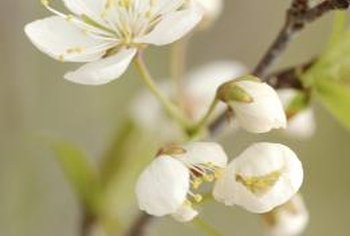 Remove flower buds from year-old apple trees to direct plant energy toward branch development.