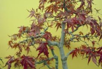 Japanese maples are often used for bonsai.